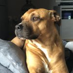 Alpha American Staffordshire Terrier croisé – Catégorie 1