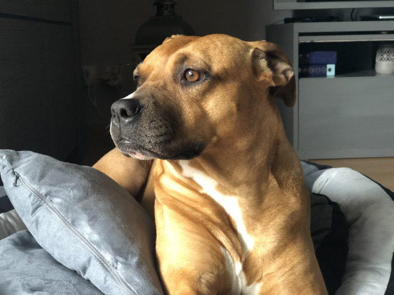 Chien de categorie 1 Alpha – American Staffordshire Terrier croisé