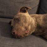 Loukis American Staffordshire Terrier cat 1