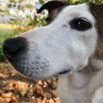 Bichou Jack Russel Terrier