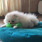 Fluffy Spitz nain