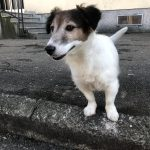 Guido Jack Russel Terrier