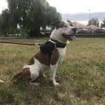 I Kaiser American Staffordshire Terrier
