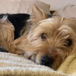 Isis Yorkshire Terrier