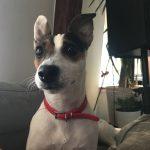 Gaya Jack Russel Terrier