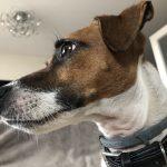Iofi Jack Russel Terrier