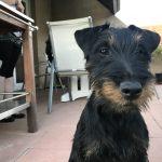 Mequi Jagd Terrier croisé