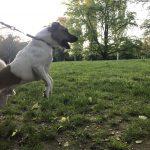 Milo Jack Russel Terrier