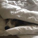 Barth croisé Fox Terrier